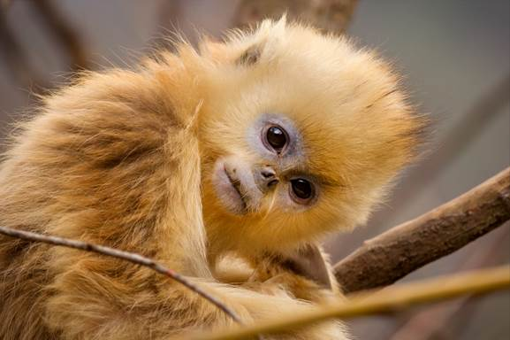 Born In China Golden Monkey