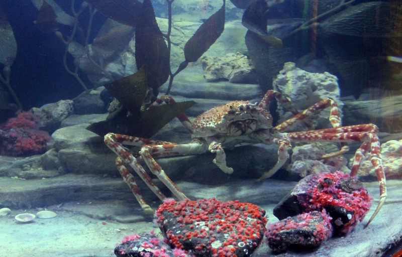 Crab at Sea Life Aquarium Michigan