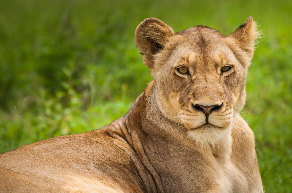 Female Lion - Find Your Strengths
